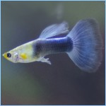 네온 블루 턱시도 구피[1봉지:50마리/숫25+암25]